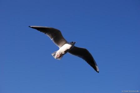 Seagull over the Yokohama bay